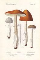 Grisette mushroom,Amanita vaginata