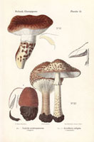 Lepiota aspera,Armillaria caligata mushrooms