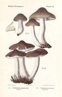 Soapy knight mushroom,Tricholoma saponaceum,T. terreum