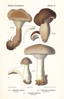 Club-footed clitocybe,Clitocybe clavipes,C. nebularis