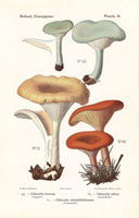 Aniseed toadstool,Clitocybe inversa,C. odora