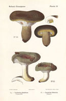 Milk cap mushrooms,Lactarius plumbeus,L. blennius