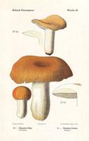 Bitter russula,Russula fellea,R. foetens