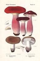 Gooseberry russula,Russula queletii,R. adusta