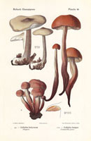 Spindle shank mushroom,Collybia butyracea,C. fusipes