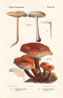 Gymnopus dryophila,Collybia velutipes