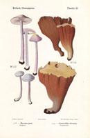 Lilac bonnet,Mycena pura,Craterellus clavatus