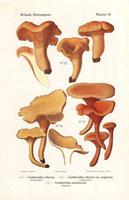 Chanterelle mushrooms,Cantharellus cibarius,C. aurantiacus