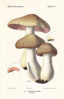 Livid agaric,Entoloma lividum,E. sinuatum