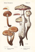 Sheathed woodtuft,Pholiota mutabilis,P. radicosa