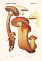 Shaggy scalycap,Pholiota squarrosa,P. aurea