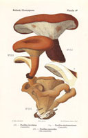 Brown roll rim,Paxillus involutus,P. panuoides