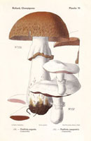 Field mushroom,Agaricus campestris,Psalliota augusta