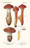 Slimy spikecap,Gomphidius glutinosus,G. viscidus