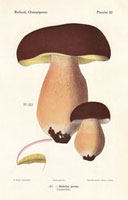 Porcino mushroom,Boletus aereus