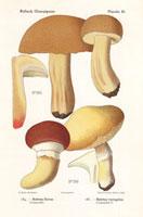 Bolete mushroom,Boletus flavus,B. variegatus