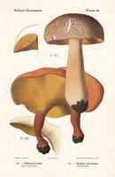 Bolete mushrooms,Tylopilus felleus,B. parasiticus