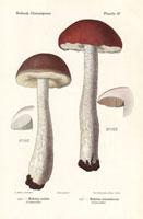 Rough-stemmed boletus,Boletus scaber,B. aurantiacus