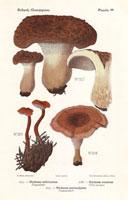 Hawk's wing mushroom,Hydnum imbricatum,H. zonatum