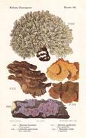 Fungi,Stereum hirsutum,Corticium quercinum
