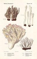 Grey coral fungus,Clavaria cristata,C. cinerea