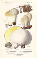 Puff balls,Lycoperdon gemmatum,Cyathus striatus
