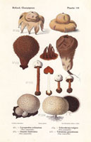 Puff balls,Lycoperdon echinatum,Geaster fimbriatus