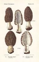 Morel mushroom,Morchella vulgaris,M. costata