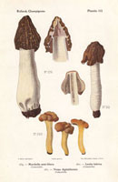Morel mushrooms,Morchella semi-libera