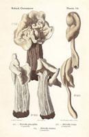 White saddle mushroom,Helvella pityophila,H. crispa
