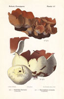 Galactina sarrazini,Sarcosphaea coronaria