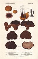 Truffles,Tuber melansporum,Black bulgar,Bulgaria inquinans