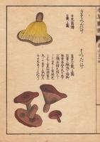 Lactarius hatsudake Tanaka, sahatsudake mushroom
