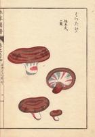 Lactarius hatsudake Tanaka mushroom