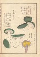 Russul virescens mushroom