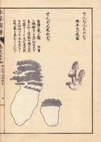 Zenbon shimeji mushrooms, Tricholoma pes-caprae