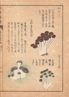 Tricholoma conglobatum mushroom
