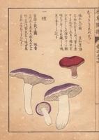 Tricholoma personatum mushroom