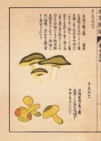 Kakishimeji and Tricholoma equestre mushrooms