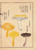 Kishimeji and kintake mushrooms