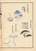 Akashimeji and aoshimeji mushrooms
