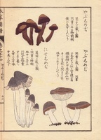 Yabushimeji and niseshimeji mushrooms