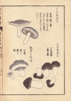 Kuroshimeji and nezumitake mushrooms