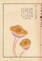 Ashitaka shimeji mushroom
