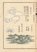 Sunamoguri and tsuchikamuri mushrooms