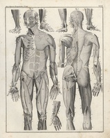 Human body, musculature, front, back