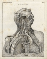Human body, nerves, heart, chest, autopsy