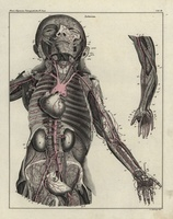 Human body, torso, arms, arteries, blood, heart