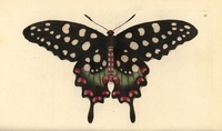 Madagascar giant swallowtail