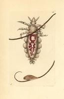 Body louse, body lice
